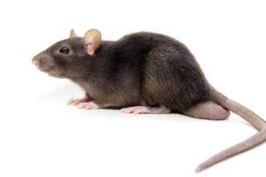 Thailand Rat Control
